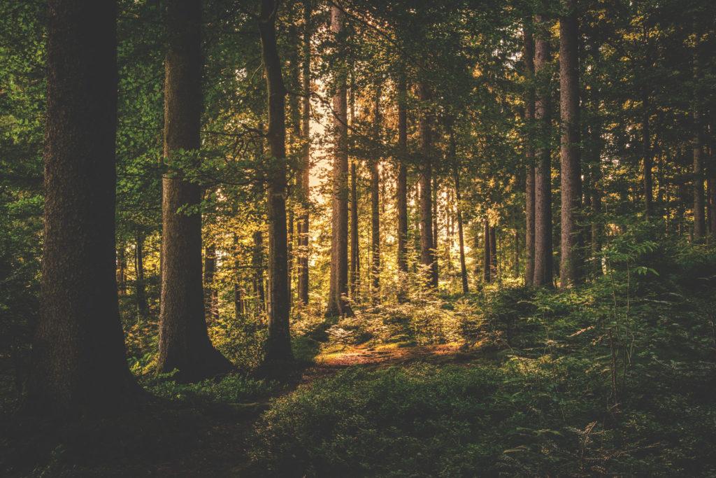 Chêne français issu de forêts gérées durablement